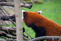 Red panda or firefox showing the red fur on its back royalty free stock images