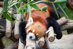 Red panda (firefox) Stock Photography