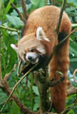Red Panda in the Forrest of Sikkim. Royalty Free Stock Photography