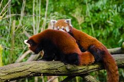 Red Panda Friends Royalty Free Stock Photos