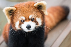 Red Panda. Frontal portrait of Red Panda Royalty Free Stock Images