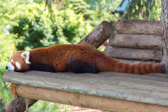 Red panda full shot. Resting on a wooden board Stock Photo