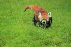 Red panda in grass Stock Photos