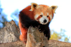 Red panda. At Halls Gap Zoo, Grampians National Park, Victoria, Australia Stock Image