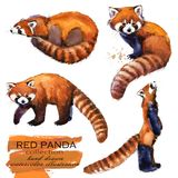 Red Panda hand drawn watercolor illustration Royalty Free Stock Images