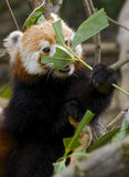 Red Panda hiding behind a leaf, eating cute Stock Image