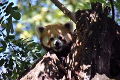 Red Panda hiding in a tree. Looking curiously at the camera Stock Photo