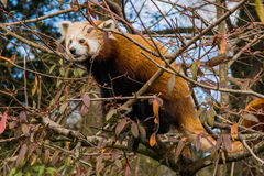 Red panda hiding in a tree. Red panda sitting in a tree, shown from the side Royalty Free Stock Photography