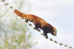 Red panda high up in the trees Stock Photo