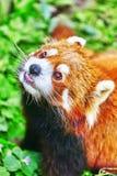 Red Panda. Royalty Free Stock Photography