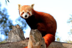 Red Panda keeps lookout Royalty Free Stock Image