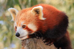 Red Panda keeps lookout Stock Photos