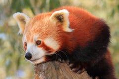 Red Panda keeps lookout Stock Photos