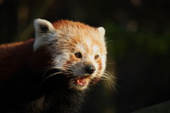 Red panda in last light Royalty Free Stock Photo