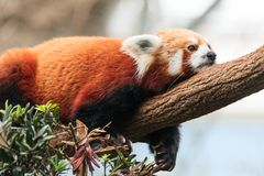 Red Panda Lazing. A dejected looking red panda lies flat on a limb with paws dangling Stock Image