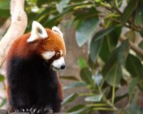 Red panda in leafy tree Royalty Free Stock Photos