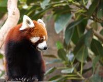 Red panda in leafy tree. Portrait of cute red panda in leafy tree Royalty Free Stock Photos