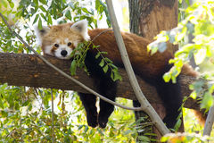 Red panda resting on a tree Royalty Free Stock Photography