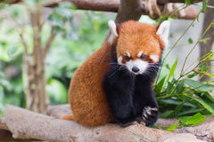 Red Panda or Lesser Panda, Firefox sitting on branch Stock Photos