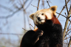 Red panda or lesser panda. Scratches Stock Images