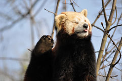 Red panda or lesser panda. Scratches Royalty Free Stock Photo