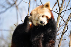 Red panda or lesser panda. Scratches Stock Photo