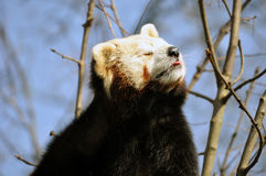 Red panda or lesser panda. Scratches take the sun Royalty Free Stock Photo