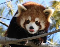 Red Panda Licking its Nose. A Red Panda licking its nose Royalty Free Stock Photos