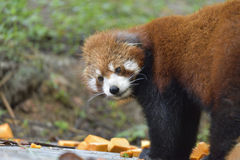 The red panda look around before eating! Stock Image