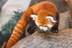 Red panda looking for food stock images