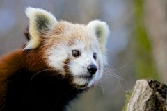 Red Panda looking out Stock Photos
