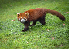 Red panda looks at camera Royalty Free Stock Image