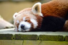 Red Panda. A lovable sleeping red panda in the zoo - dreaming wildlife mammal cute sweet Royalty Free Stock Images
