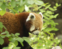 Red Panda Lunch. Red Panda eating fresh leaves in the early morning Royalty Free Stock Image