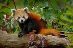 Red panda lying on the tree with green leaves. Red panda bear, Ailurus fulgens, habitat. Detail face portrait, animal from China. Wildlife scene from Asia Royalty Free Stock Images
