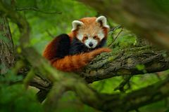 Red panda lying on the tree with green leaves. Cute panda bear in forest habitat. Wildlife scene in nature, Chengdu, Sichuan, Chin. A, Asia stock image