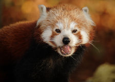 Red panda with mouth open Stock Photo