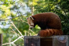 A Red Panda moves to a new vantage point to ensure it is safe to rest after eating royalty free stock photography