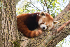 Red panda napping Royalty Free Stock Photo