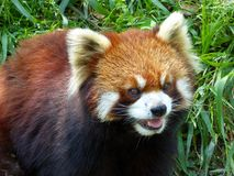Red panda opening mouth Stock Images