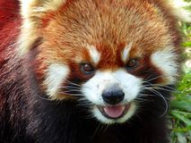 Red panda opening mouth Royalty Free Stock Photo