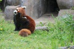 Red panda - Osaka zoo - Japan Stock Photos