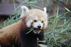 Red panda. In Ostrava zoo during afternoon snack Stock Image