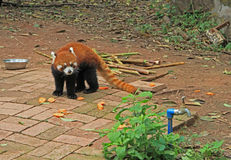 Red panda in park of Chengdu Stock Images