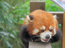 Red panda in park of Chengdu Stock Image