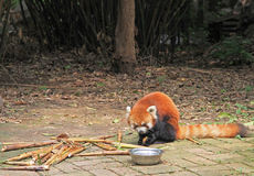 Red panda in park of Chengdu Stock Photo