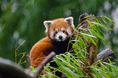 Red Panda Perching on Tree during Daytime Royalty Free Stock Photography