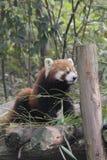 Red panda. Photo taken in Chengdu, China Royalty Free Stock Photos