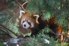 Red Panda in the pine trees Royalty Free Stock Photo