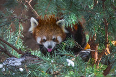 Red Panda in the pine trees Stock Image